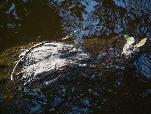 Ed Gaillard: recent &emdash; Alligator, Florida