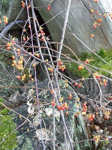 Berries_112011d