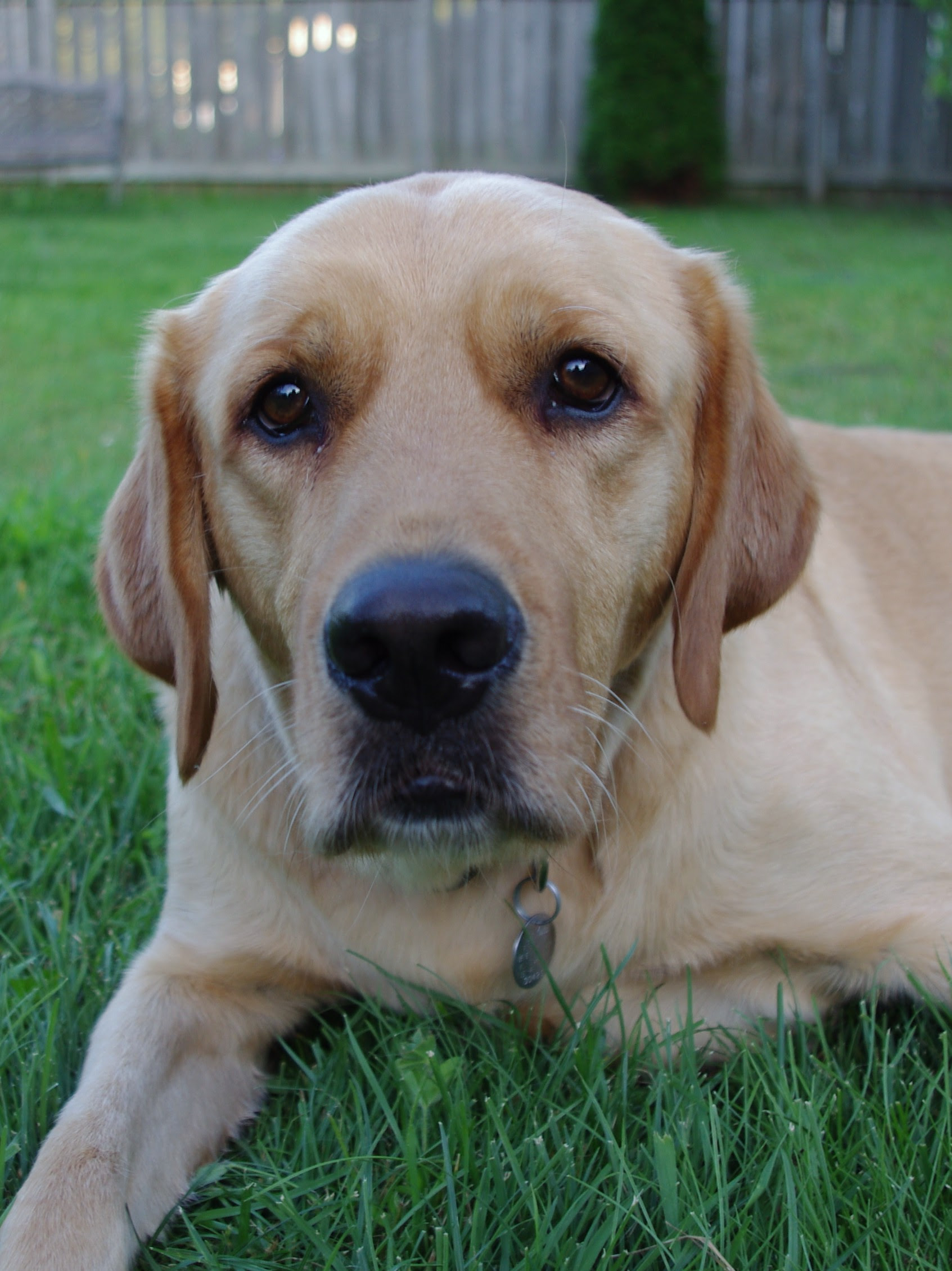 1000+ images about a cornucopia of guide dogs on Pinterest