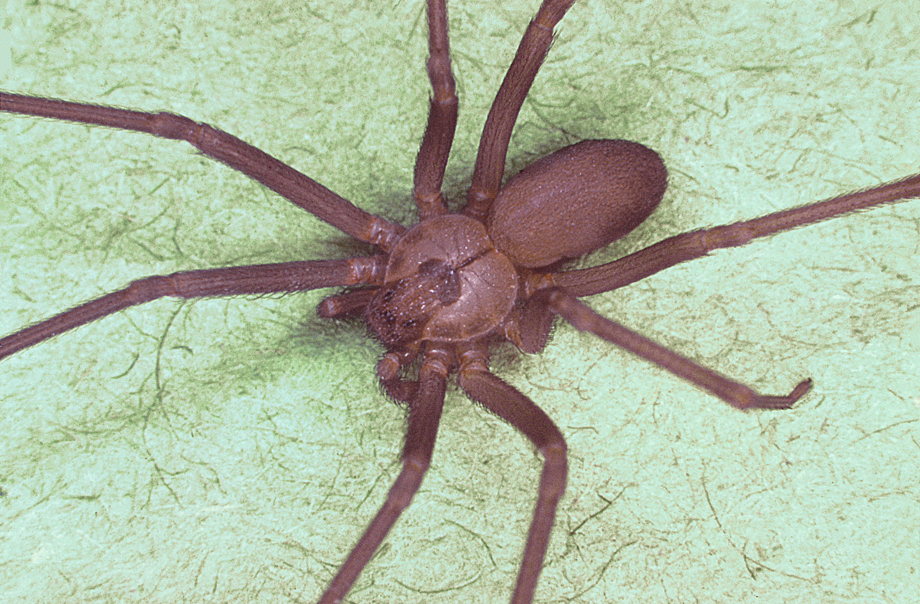 Can Brown Recluse Spiders Kill Cats