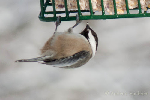 Black-capped chicadee (20 of 20).jpg