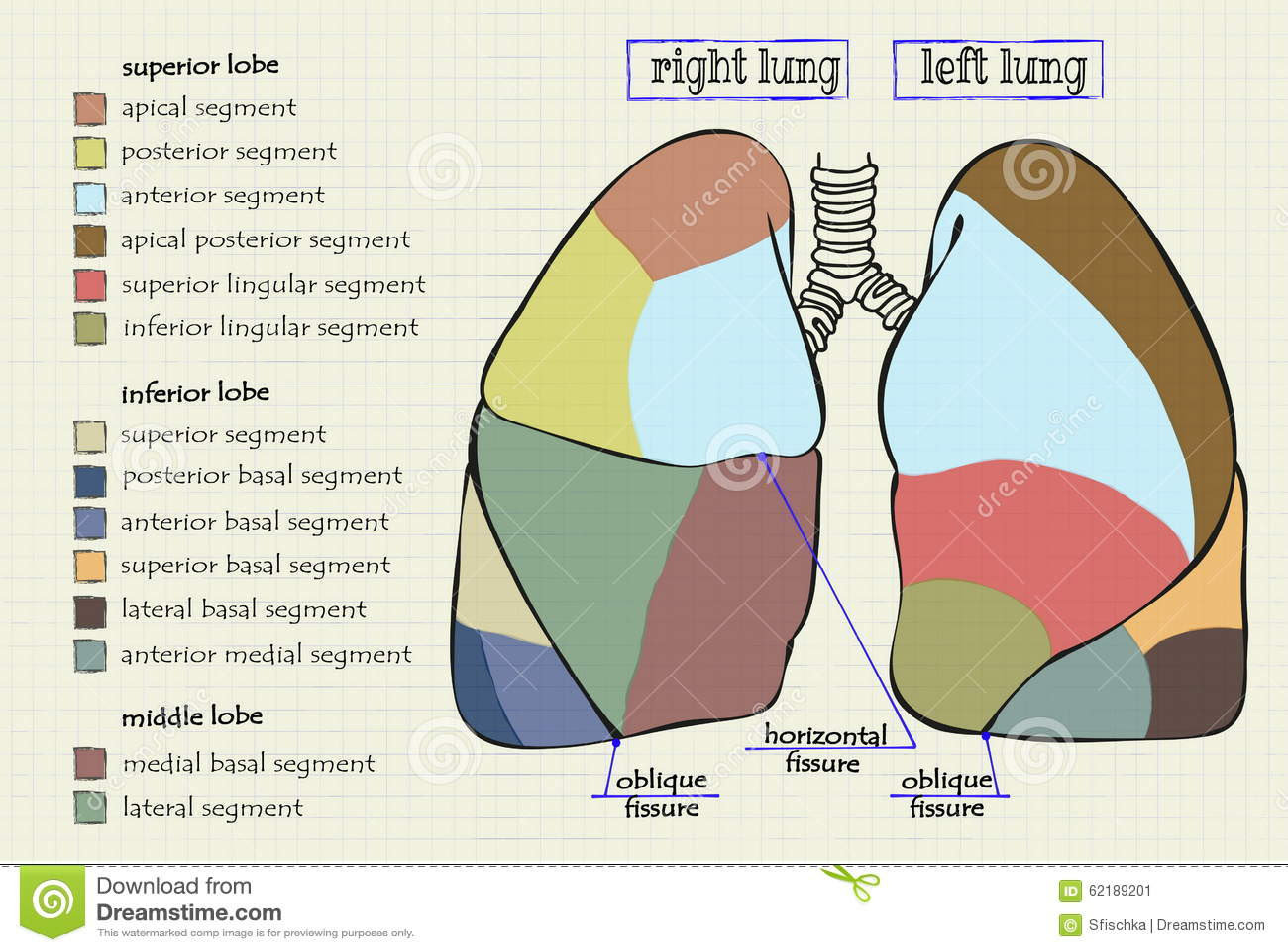 drawing diagram part human lung vector 62189201