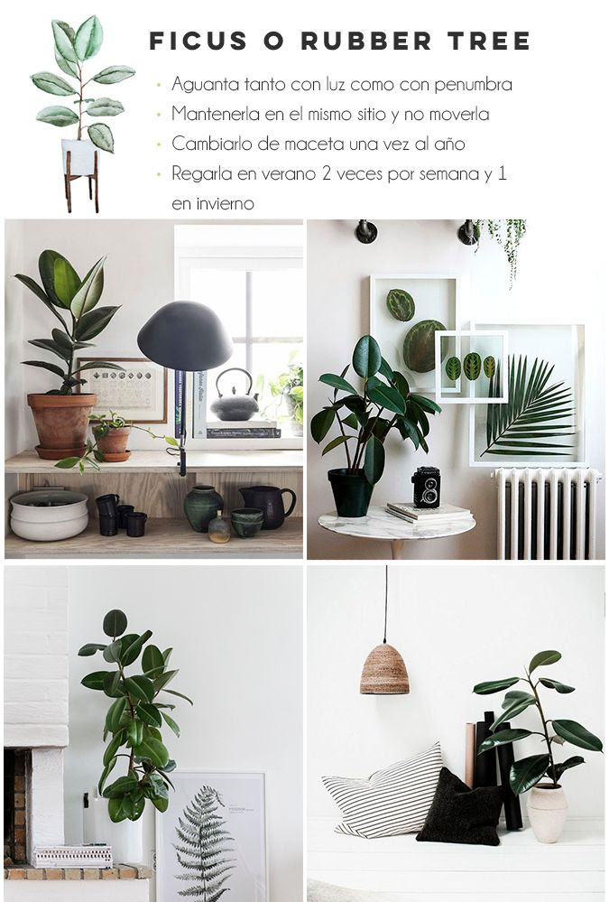 photo ficus.jpg