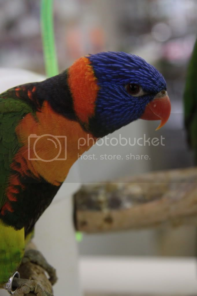 colorful parrots photo:  IMG_3766.jpg