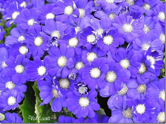 Florists Cineraria