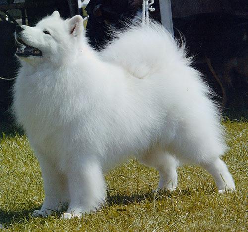 Samoyed Funny Dogs