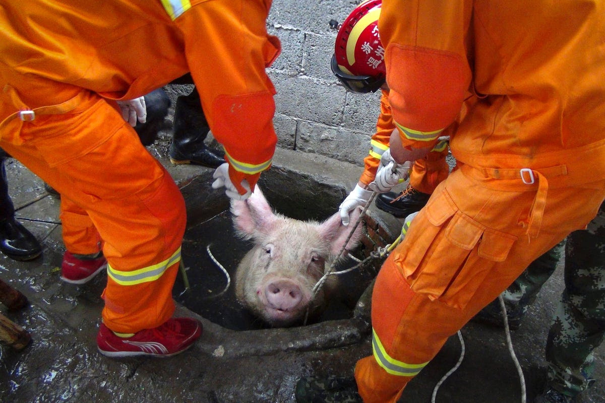 Firefighters pull a pig from a well on a pig farm in Lequing, China. Seven firefighters successfully rescued the 661-pound pig in April.