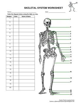 Skeletal System Worksheet Pdf   Escolagersonalvesgui