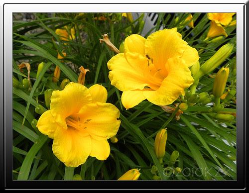 DSCN5547fr Day Lilies