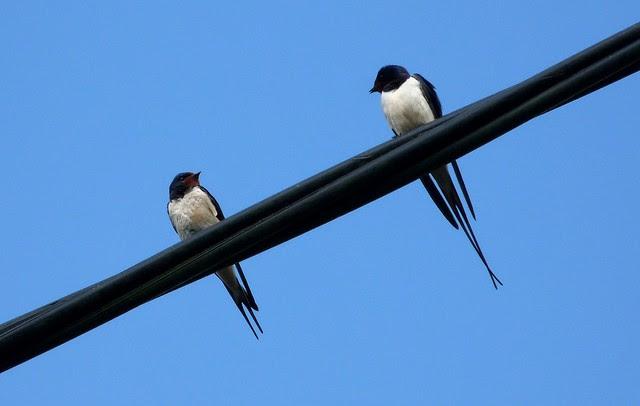 24204 - Swallow, Pontlliw