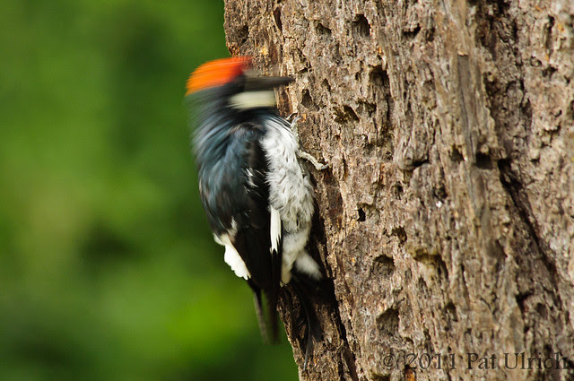 Woodpecker in motion - Pat Ulrich Wildlife Photography