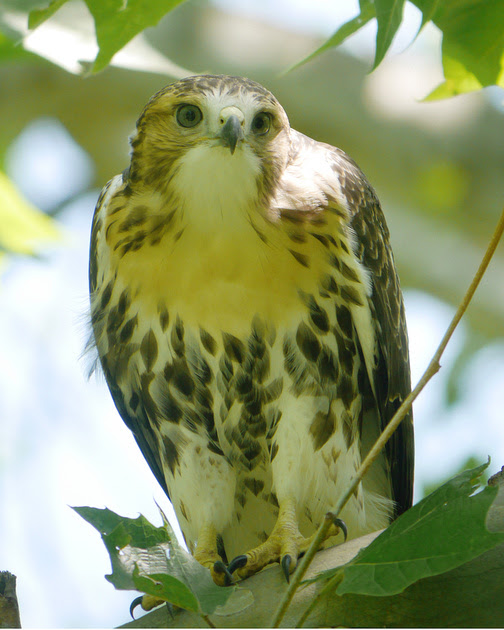 Ed Gaillard: birds &emdash; Red-Tailed Hawk fledgeling Central Park