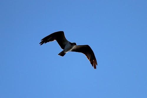 IMG_3835_Osprey