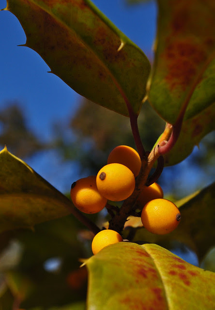 Yellow Berried Holly