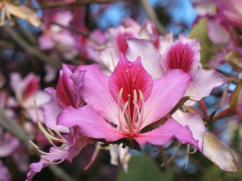 File:Hong Kong Orchid tree flower.jpg