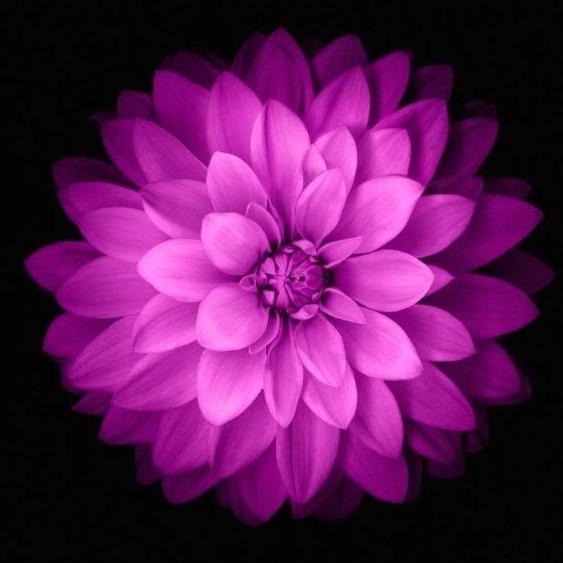 Terkeren 12 Wallpaper Bunga Ungu Hitam Koleksi Bunga HD