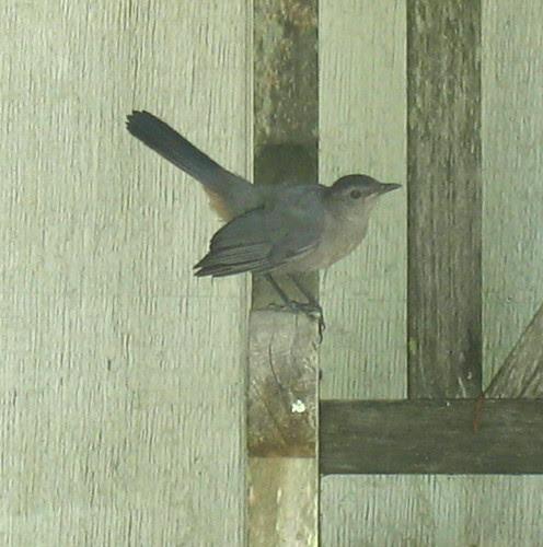 nature note catbird IMG_3093