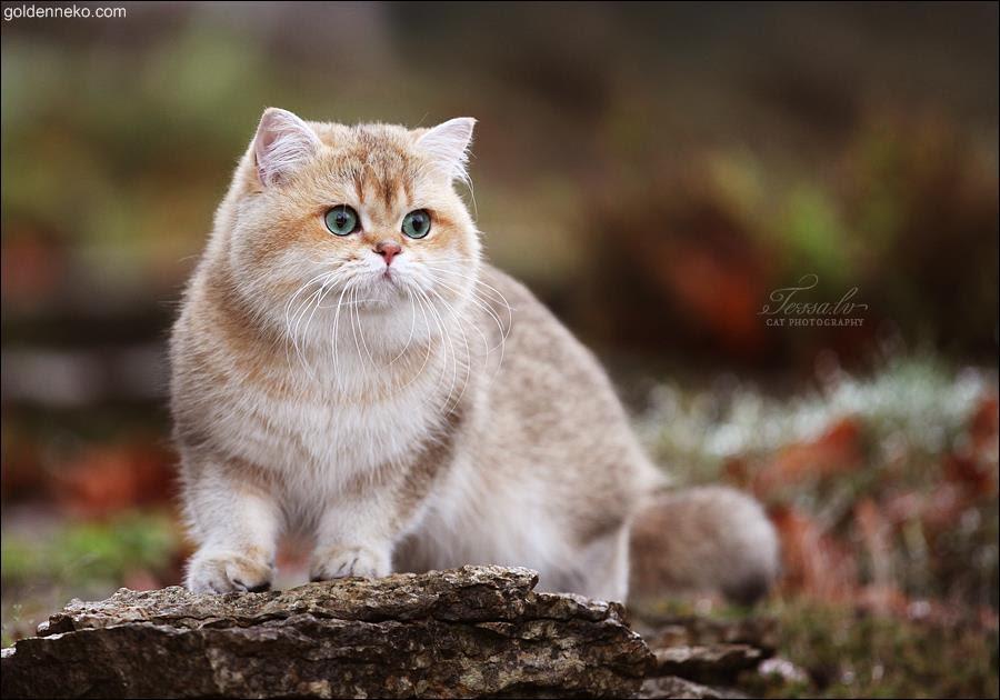 British Shorthair Golden Shaded Ny11 81021 Nama Untuk Kucing Comel Lucu Dan Unik