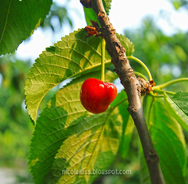 Cherry in Beijing