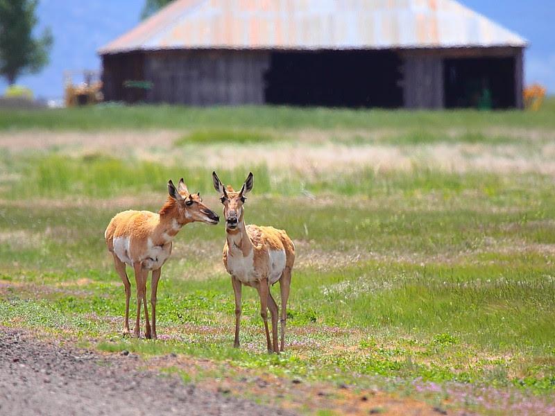 IMG_6589 Pronghorn, Ash Creek Wildlife Area, CA