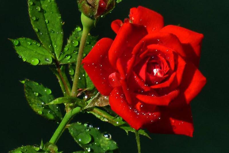 Rosa Roja Rosa Colombia Informa