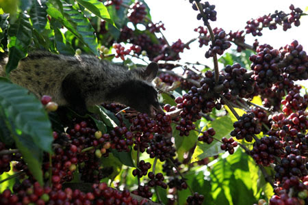Hạt cà phê dưới tác dụng của các enzyme trong dạ dày chồn hương sẽ có hương vị đậm đà hơn.