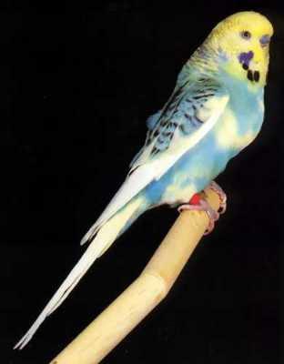ondulee_pie_australienne_opaline_bleue_masque_jaune.jpg (312×400)
