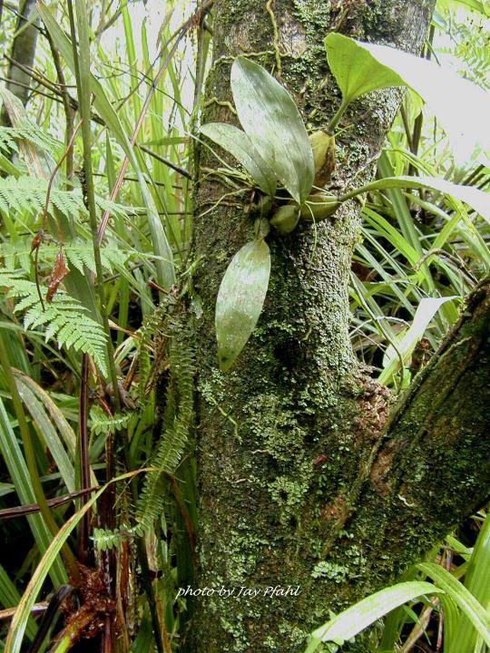 http://www.orchidspecies.com/orphotdir/bifrenariinodora.jpg