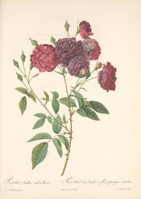 Rosa Indica Subviolacea