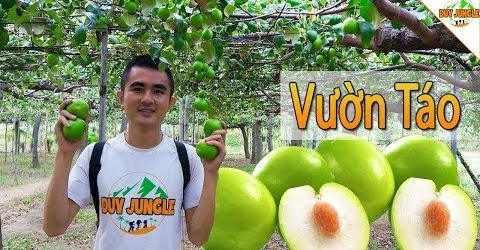 Vào Vườn Táo Ninh Thuận hái về 4kg Táo Gió | Du lịch Ninh Thuận | Duy Junle