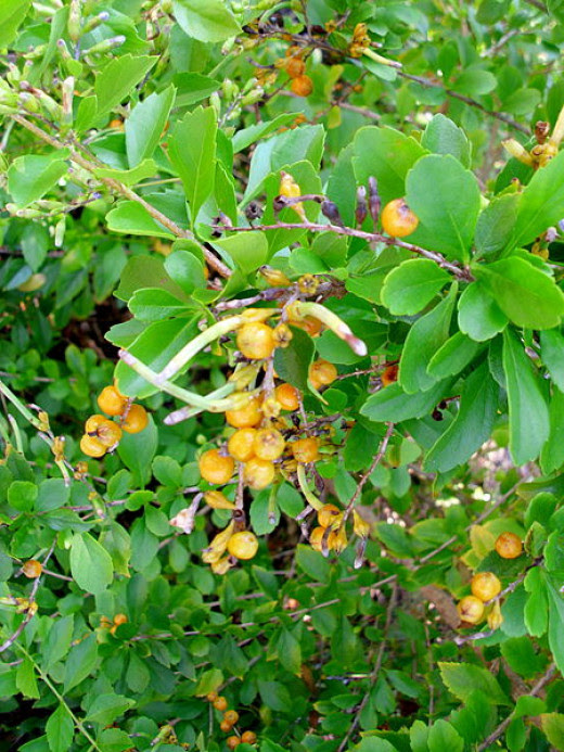 Golden Dewdrop Poisonous Duranta Erecta Berries: Golden ...
