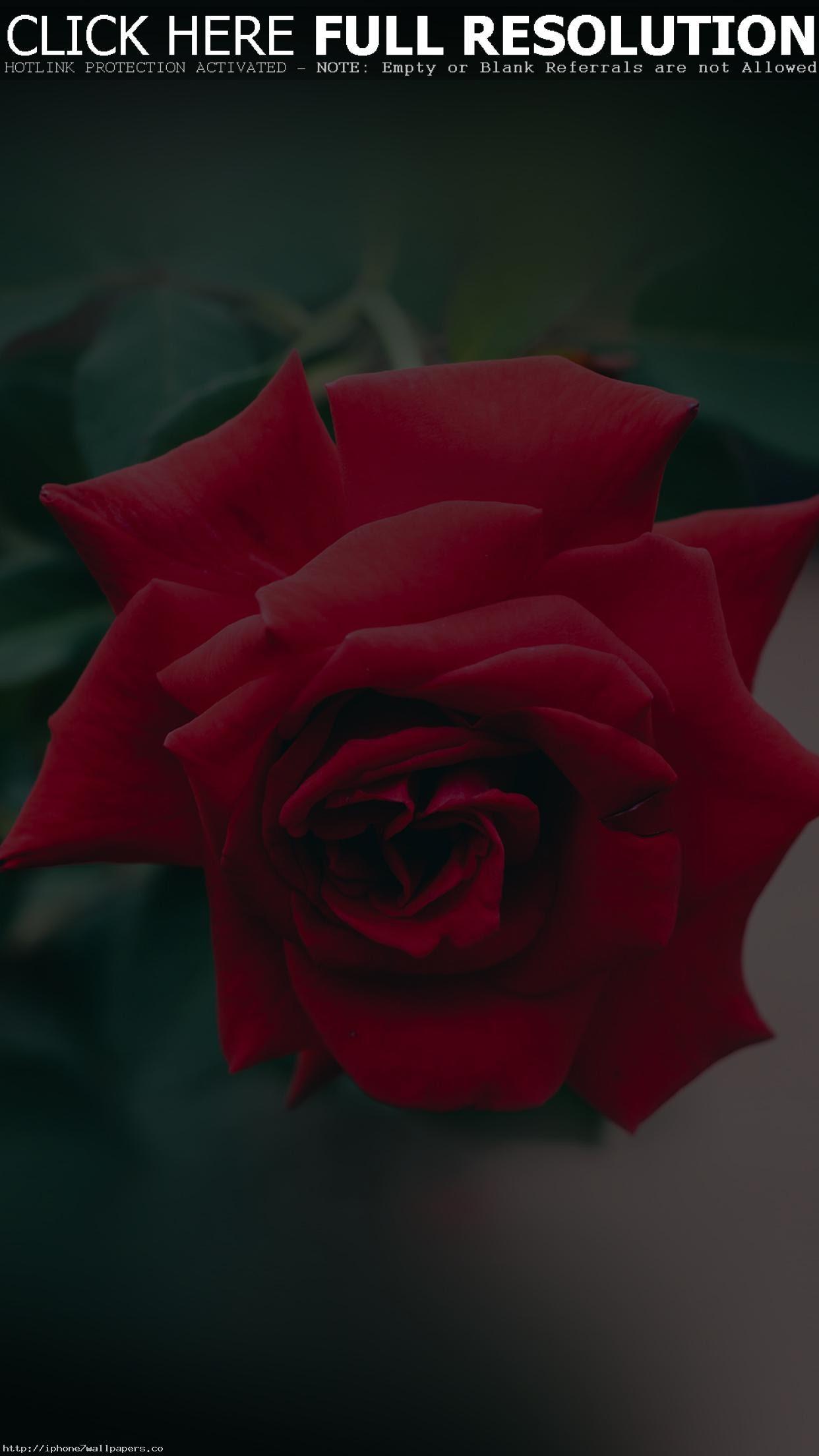 Download 2000+ Wallpaper Hd Android Rose Flower  Paling Baru