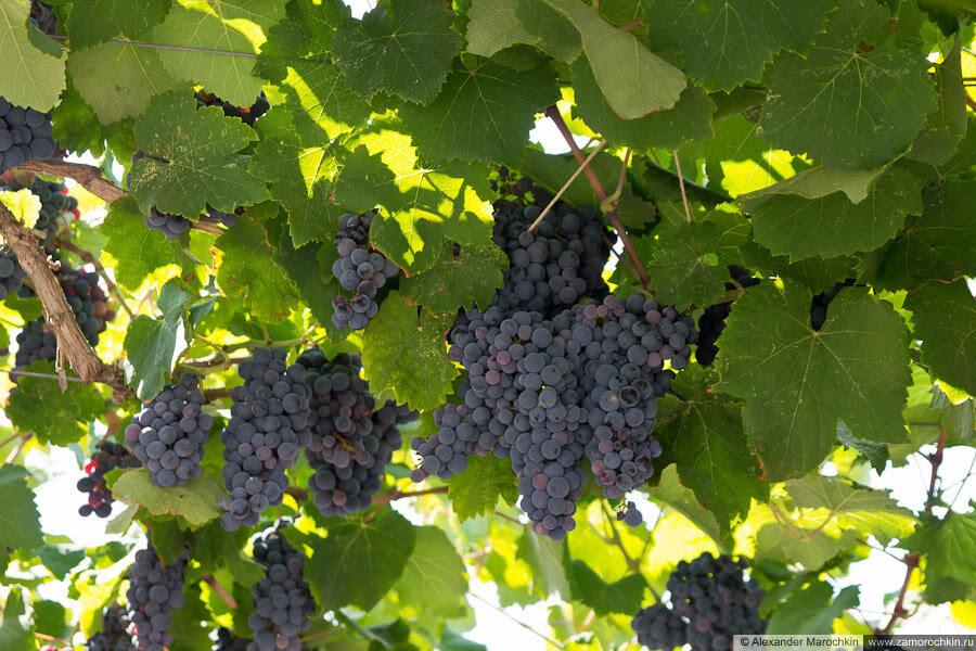 Виноград, навес из виноградной лозы