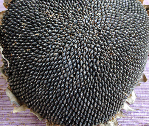 IMGP0618 - cu - sunflower head