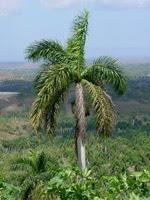 Palma Real, Árbol Nacional de Cuba