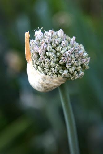 a proper leek flower