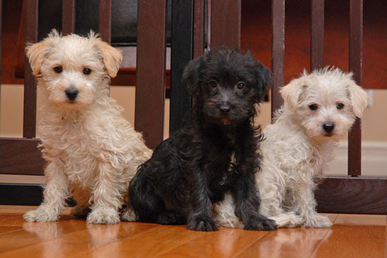 Westiepoo (West Highland White Terrier/Poodle Mix) Info ...
