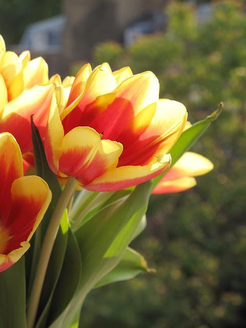 Giallo e rosso. Tulipani.