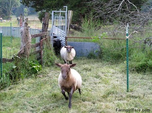Helga hurtling toward the treat trough - FarmgirlFare.com