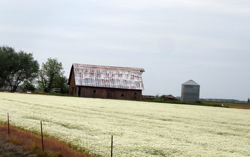 Barn with the new groundcover of choice
