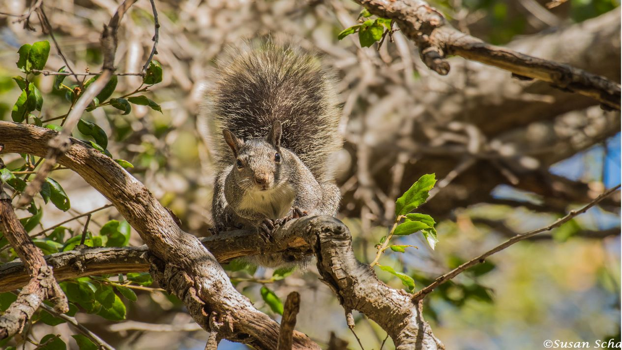 Squirrel in the canyon Gray squirrel Solstice Canyon (1280*720)
