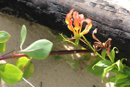 IMG 8986 Beach Flower