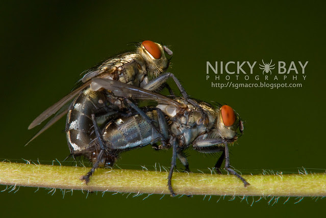 Flesh Flies (Sarcophagidae) - DSC_8522