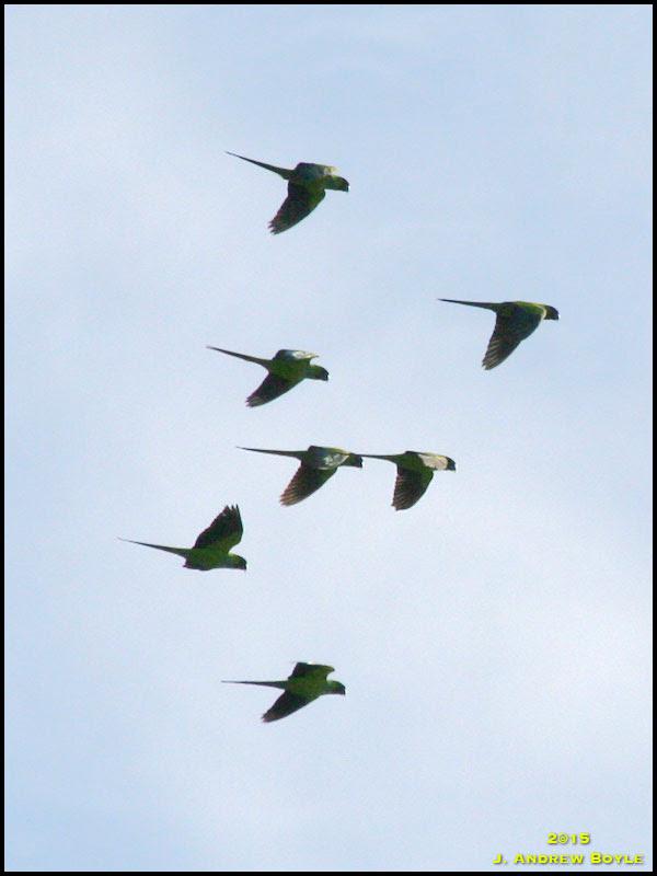 Nandy Parakeet