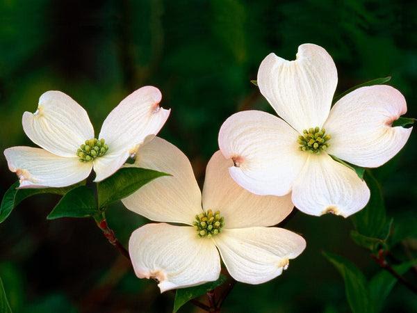 Whispering Winds Dogwood Flower Essence Divine Archetypes