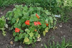 nasturtiums at community garden