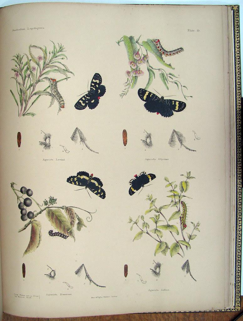 coloured book illustration of Australian butterflies