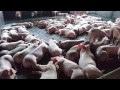 Báo VOV: Giá thịt lợn hơi tăng kỷ lục do mất cân đối cung - cầu cục bộ