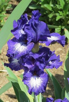 "Intermediate Bearded Iris ""Starwoman"" 