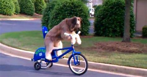 cachorro andando de bicicleta bomba  youtube noticias